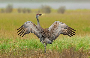 Sandhill crane (Grus canadensis) flapping wings, Yellowstone National Park, Wyoming, USA June - George  Sanker