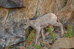 Bighorn sheep (Ovis canadensis) young lamb walking along rock face, Yellowstone National Park, Wyoming, USA. - George  Sanker