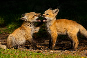 Red fox (Vulpes vulpes) two cubs playing, Shoshone National Forest, Wyoming, USA May - George  Sanker