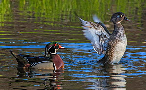 Wood duck (Aix sponsa) mating pair swimming on water, female duck flapping wings, Acadia National Park, Maine, USA May - George  Sanker