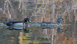 Wood duck (Aix sponsa) mating pair swimming on water, Acadia National Park, Maine, USA May - George  Sanker