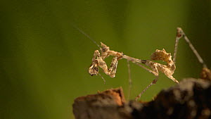 Close up of a Cryptic mantis (Sibylla pretiosia) catching and eating a fruit fly, UK. Captive.  -  James Dunbar