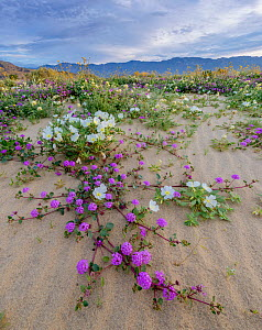 1563786 - - Desert landscape with flowering Sand verbena (Abronia), Desert gold (Geraea canescens), and Birdcage evening primrose (Oenothera deltoides), with the Santa Rosa Mountains in background. An...  -  Jack Dykinga