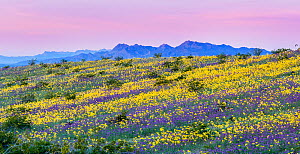 Whipple Mountain foothills, with flowering Notch-leaf scorpion-weed (Phacelia crenulata) and Heartleaf evening primrose (Camissonia cardiophylla) with the Riverside and Big Maria Mountains in the back...  -  Jack Dykinga