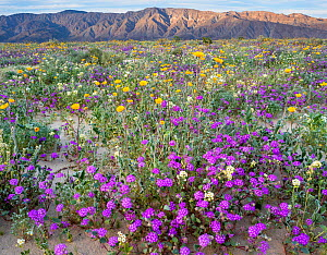 Desert landscape with flowering Sand verbena (Abronia), Desert gold (Geraea canescens), and Birdcage evening primrose (Oenothera deltoides), with the Santa Rosa Mountains in background.  Anza-Borrego...  -  Jack Dykinga