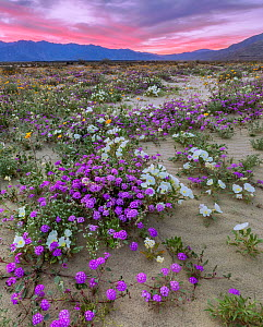 Desert landscape at sunset, with flowering Sand verbena (Abronia), Desert gold (Geraea canescens), and Birdcage evening primrose (Oenothera deltoides), with the Santa Rosa Mountains in background.  An... - Jack Dykinga