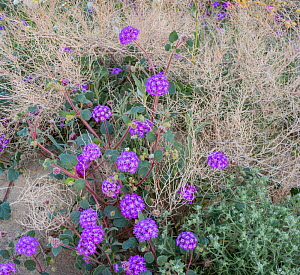 Sand verbena (Abronia) flowering in a dried up bush, Anza-Borrego State Park, California, USA, March 2017. These plants are flowering during on largest 'super-bloom in years' caused by increased winte...  -  Jack Dykinga