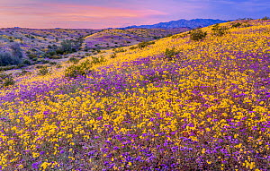 Whipple Mountain foothills, with mass bloom of Notch-leaf scorpion-weed (Phacelia crenula) and Heartleaf evening primrose (Camissonia cardiophylla) Whipple Mountain Wilderness in background, Sonoran D... - Jack Dykinga