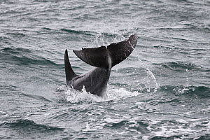 Indo-Pacific Bottlenose dolphin (Tursiops aduncus) tail slap, South Africa, Indian Ocean.  -  Tony Wu
