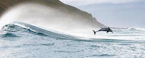 Indo-Pacific bottlenose dolphin (Tursiops aduncus) leaping out of the surf, South Africa, Indian Ocean. - Tony Wu
