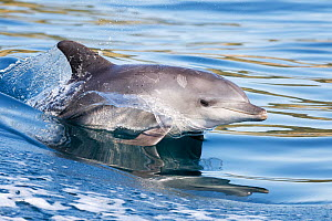 Indo-Pacific bottlenose dolphin (Tursiops aduncus) porpoising, South Africa, Indian Ocean. - Tony Wu