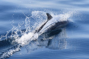 Indo-Pacific bottlenose dolphin (Tursiops aduncus) swimming at surface, South Africa, Indian Ocean.  -  Tony Wu