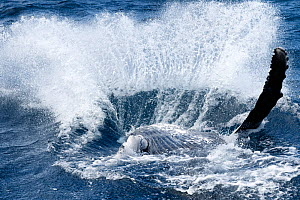 Humpback whale (Megaptera novaeangliae) male calf landing after breaching. Vava'u, Tonga, South Pacific. - Tony Wu