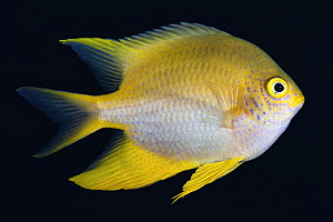 Golden damselfish (Amblyglyphidodon aureus), Caroline Islands, Palau, Philippine Sea.  -  Tony Wu