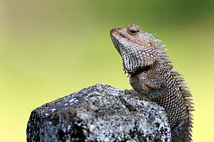 Changeable lizard (Calotes versicolor) on a rock, Sri Lanka.  -  Tony Wu