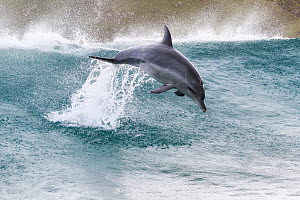 Indo-Pacific bottlenose dolphin (Tursiops aduncus) leaping out of waves, South Africa. - Tony Wu