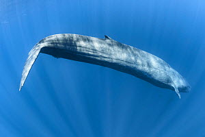 Pygmy blue whale (Balaenoptera musculus brevicauda) subspecies of blue whale. Diving to deeper water to feed on krill after breathing at the surface. Mirissa, Sri Lanka, Indian Ocean. - Tony Wu