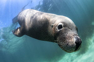 Australian sea lion (Neophoca cinerea) being inquisitive. Carnac Island, Western Australia, Indian Ocean.  -  Tony Wu