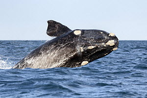 Southern right whale (Eubalaena australis) breaching. South Africa. Indian Ocean.  -  Tony Wu