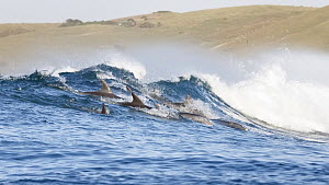 Bottlenose dolphins (Tursiops aduncus) surfing. South Africa, Indian Ocean.  -  Tony Wu