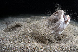 Japanese angelshark (Squatina japonica) engaged in ambush predation, leaping out of the sand to catch a small silver-stripe round herring (Spratelloides gracilis). Japan, Pacific. - Tony Wu