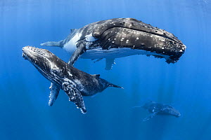 Humpback whale (Megaptera novaeangliae) male calf relaxing with his mother and an escort whale in the background. Vava'u, Tonga, South Pacific. - Tony Wu