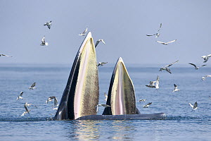 Bryde's whale (Balaenoptera edeni edeni) adult female feeding on anchovies with her calf. Gulf of Thailand, Pacific. - Tony Wu