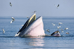 Bryde's whale (Balaenoptera edeni edeni) adult female feeding at surface on anchovies with her calf. Gulf of Thailand, Pacific. - Tony Wu
