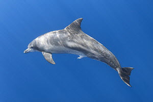 Indo-Pacific bottlenose dolphin (Tursiops aduncus) with penis extended. Ogasawara / Bonin Islands, Japan.  -  Tony Wu