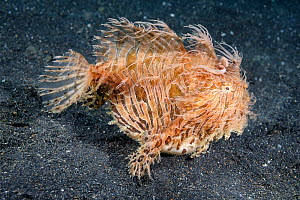 Hairy frogfish (Antennarius striatus) North Sulawesi, Indonesia, Pacific Ocean. - Tony Wu