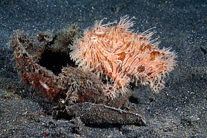 Hairy frogfish (Antennarius striatus) that has crawled into a coconut shell to rest with a full stomach, after eating a very large and long pipefish. North Sulawesi, Indonesia, Pacific Ocean. - Tony Wu