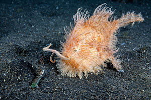 Hairy frogfish (Antennarius striatus) attempting to attract a small mantis shrimp by waving its lure, North Sulawesi, Indonesia. - Tony Wu