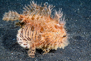 Hairy frogfish (Antennarius striatus) with distended stomach after eating a very large pipefish,  North Sulawesi, Indonesia, Pacific Ocean. - Tony Wu