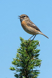 Stonechat (Saxicola torquata) female calling from top of Gorse bush, Hampshire, England, UK, May - Andy Sands