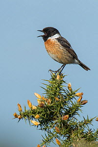 Stonechat (Saxicola torquata) male calling from top of Gorse bush, Hampshire, England, UK, May - Andy Sands