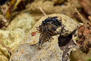 Spider Hunting Wasp (Anoplius nigerrimus) with Spider (Trochosa ruricola) prey, dragging paralysed spider to hide in dead leaf while burrow is excavated, Oxfordshire, England, UK, August  -  Andy Sands
