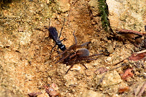 Spider Hunting Wasp (Anoplius nigerrimus) with Spider (Trochosa ruricola) prey, dragging paralysed spider back to burrow, Oxfordshire, England, UK, August  -  Andy Sands