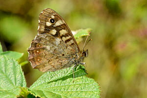 Speckled Wood butterfly (Pararge aegeria) resting with wings closed, Oxfordshire, England, UK, May  -  Andy Sands