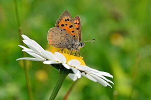Small copper butterfly (Lycaena phlaeas) feeding on nectar of Oxeye Daisy (Leucanthemum vulgare), Bedfordshire, England, UK, May  -  Andy Sands