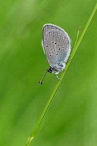 Small Blue butterfly (Cupido minimus) roosting on grass stem, Bedfordshire, England, UK, July  -  Andy Sands
