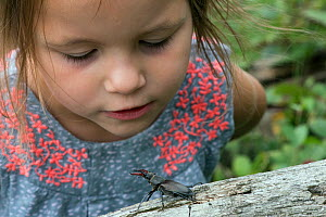 Young girl watching Stag Beetle (Lucanus cervus)  Hertfordshire, England, UK, June Model released. - Andy Sands