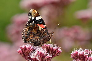 Red admiral butterfly (Vanessa atalanta) feeding on nectar from Hemp Agrimony, Oxfordshire, England, UK, September  -  Andy Sands