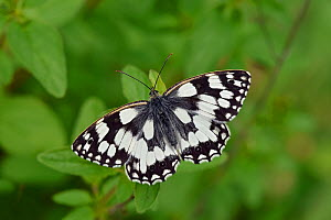 Marbled white butterfly (Melanargia galathea) Male fviewed from above with wings open, Oxfordshire, England, UK, June - Andy Sands