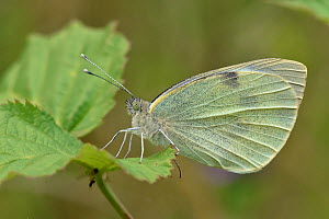 Large white butterfly (Pieris brassicae) Roosting with wings closed, Oxfordshire, England, UK, July  -  Andy Sands