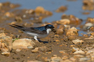 House Martin (Delichon urbicum) collecting mud from puddle, Hampshire, England, UK, May  -  Andy Sands