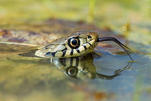 Grass snake (Natrix natrix) tasting air with tongue in pond, Surrey, England, UK, April - Andy Sands