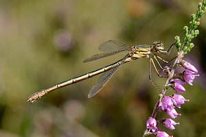 Emerald damselfly (Lestes sponsa) female perched on Ling heather, Surrey, England, UK, August  -  Andy Sands