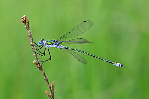 Emerald damselfly (Lestes sponsa) male perched on Ling heather, Surrey, England, UK, August  -  Andy Sands