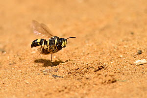 Digger wasp (Cerceris rybyensis) flying back to burrow carrying paralysed mining bee, Oxfordshire, England, UK, July - Andy Sands