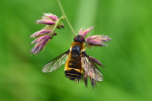 Downland villa, Downland bee-fly (Villa cingulata) - this rare southern species of bee-fly is listed as endangered in the Red Data Book but has recently increased in range and is usually seen on calca...  -  Andy Sands